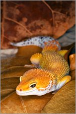 Adam Jones - Leopardgecko liegt zwischen Blttern