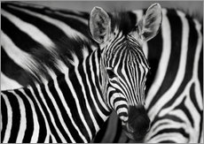  HADYPHOTO by Hady Khandani - ZEBRA BW