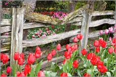 Jamie & Judy Wild - Tulips and wood fence