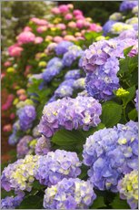 Joanne Wells - Hydrangeas blooming in a Savannah garden