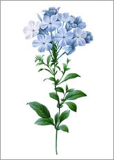 Pierre Joseph Redoute - Phlox reptans