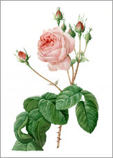 Pierre Joseph Redoute - Rosa centifolia Bullata-Pink Rose