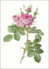 Pierre Joseph Redoute - Rosa Gallica Aurelianensis