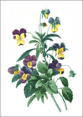 Pierre Joseph Redoute - Viola Tricolour
