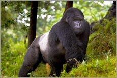 Ralph H. Bendjebar - a Mountain Gorilla (Gorilla gorilla beringei) and No 2 Silverback of the Kwitonda Group just outside