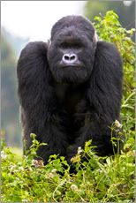 Ralph H. Bendjebar - a Mountain Gorilla (Gorilla gorilla beringei) and No 3 Silverback of the Kwitonda Group just outside