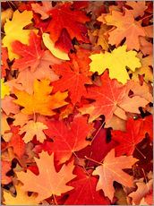 Scott T. Smith - Fallen leaves of bigtooth maple trees (Acer grandidentatum) in autumn