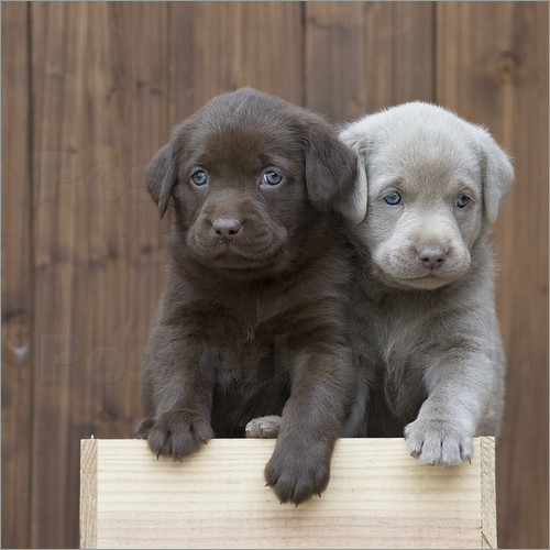 Labrador puppies III Pictures: Posters by Heidi Bollich at ...