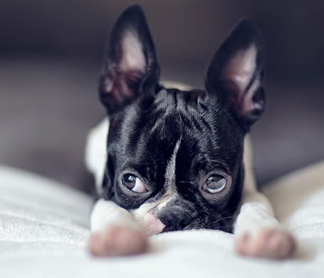 Nailia Schwarz - Boston Terrier Welpe