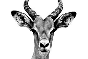 Antelope Portrait White Edition