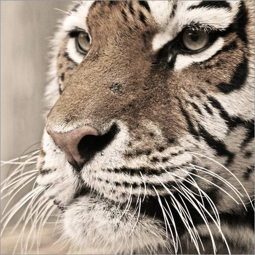 Wandsticker Tigerportrait