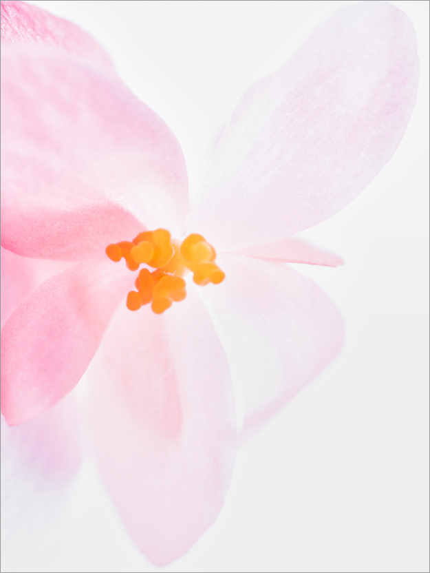 Premium-Poster Orchidee in Pink I