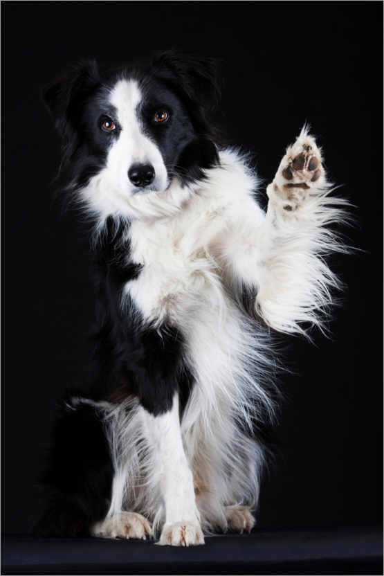 Premium-Poster Border Collie