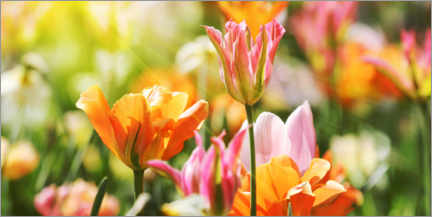 Premium-Poster Tulpen in rosa und orange