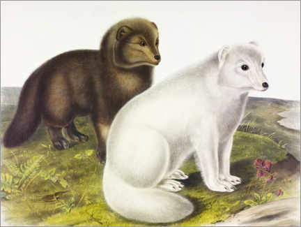 Wandsticker  Polarfuchs - John James Audubon