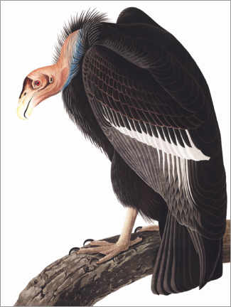 Alubild  Kalifornischer Kondor - John James Audubon