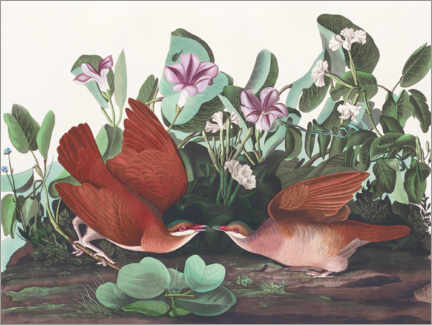 Gallery Print  Glanzerdtaube - John James Audubon