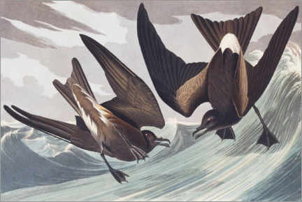 Wandsticker  Wellenläufer - John James Audubon