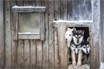 Holzbild  Süße Husky-Hundewelpen - Matthew Williams-Ellis