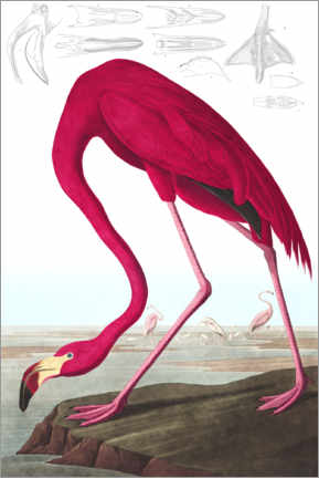 Leinwandbild  Kubaflamingo aus The Birds of America - John James Audubon