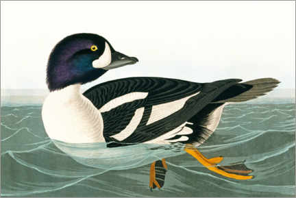 Hartschaumbild  Ente - John James Audubon