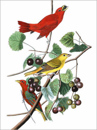 Wandsticker  Sommertangare - John James Audubon