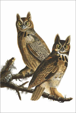 Premium-Poster  Virginia-Uhu - John James Audubon