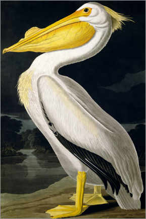 Naklejka na ścianę  American White Pelican from Birds of America - John James Audubon
