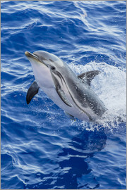 Michael Nolan - Adult striped dolphin (Stenella coeruleoalba) leaping near La Gomera, Canary Islands, Spain, Atlanti