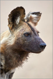 James Hager - African wild dog