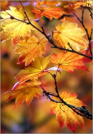 Janell Davidson - Maple leaves in autumn