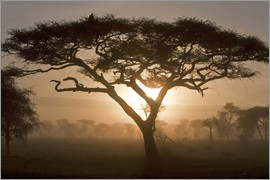 Ralph H. Bendjebar - Acacia at sunrise in the morning mist