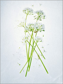Axel Killian - Allium ursinum, Heilkräuter