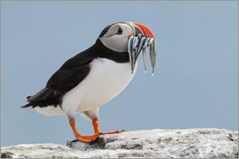 Patrick Frischknecht - Atlantic puffin (Fratercula arctica) with sand eels, United Kingdom, Europe