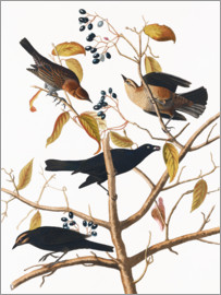 John James Audubon - Audubon: Blackbird,