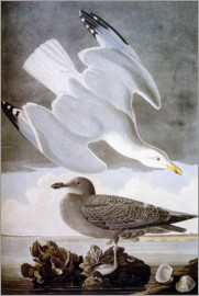 John James Audubon - Audubon: Gull.