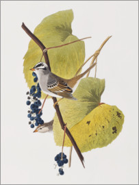 John James Audubon - Audubon: Sparrow.