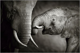 Johan Swanepoel - Baby Elephant Interacting with Cow