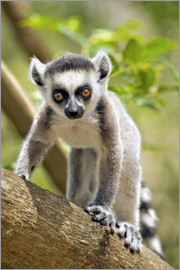 Gallo Images - Baby ring-tailed lemur (lemur catta) in the Anja private community reserve near Ambalavao in souther