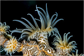 Bruce Shafer - Beautiful tiger anemone colony, Bohol Sea, Philippines.