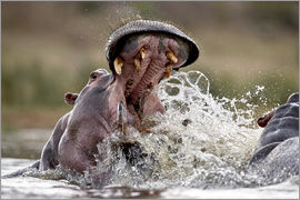 James Hager - Impressive bit of a hippopotamus
