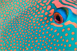 Extreme close-up of the pattern on a bicolor parrotfish, Indonesia.