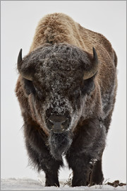 James Hager - Bison im Winter