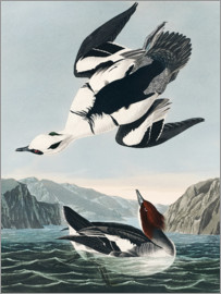 John James Audubon - Black-bellied Darter