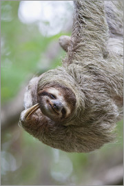 Jim Goldstein - A Brown-Throated Sloth (Bradypus variegatus) scratches its neck with its distinctive claw. Corcovado