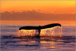 John Hyde - Humpback whale in the evening