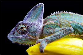 Chameleon on yellow tulips