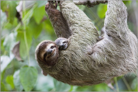 Jim Goldstein - Close up of a Brown-throated Sloth and her baby hanging from a tree branch in Corcovado National Par