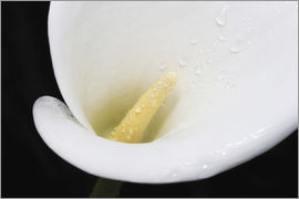 Nick Dale - Close up of white arum or calla lily (Zantedeschia aethiopica) covered in water droplets, viewed fro