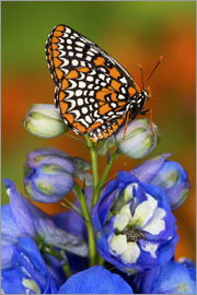 Darrell Gulin - Colorful Baltimore Checkered Spot Butterfly, Euphydryas phaeton